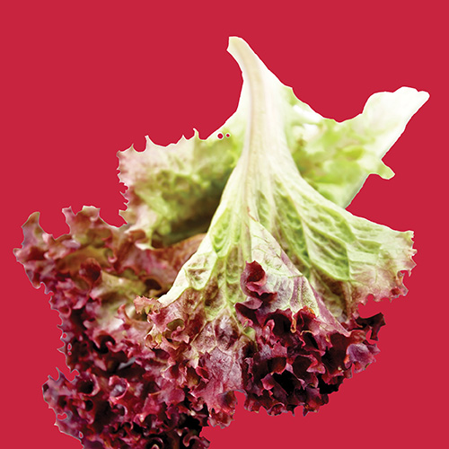 RAW Lettuce Red Sails